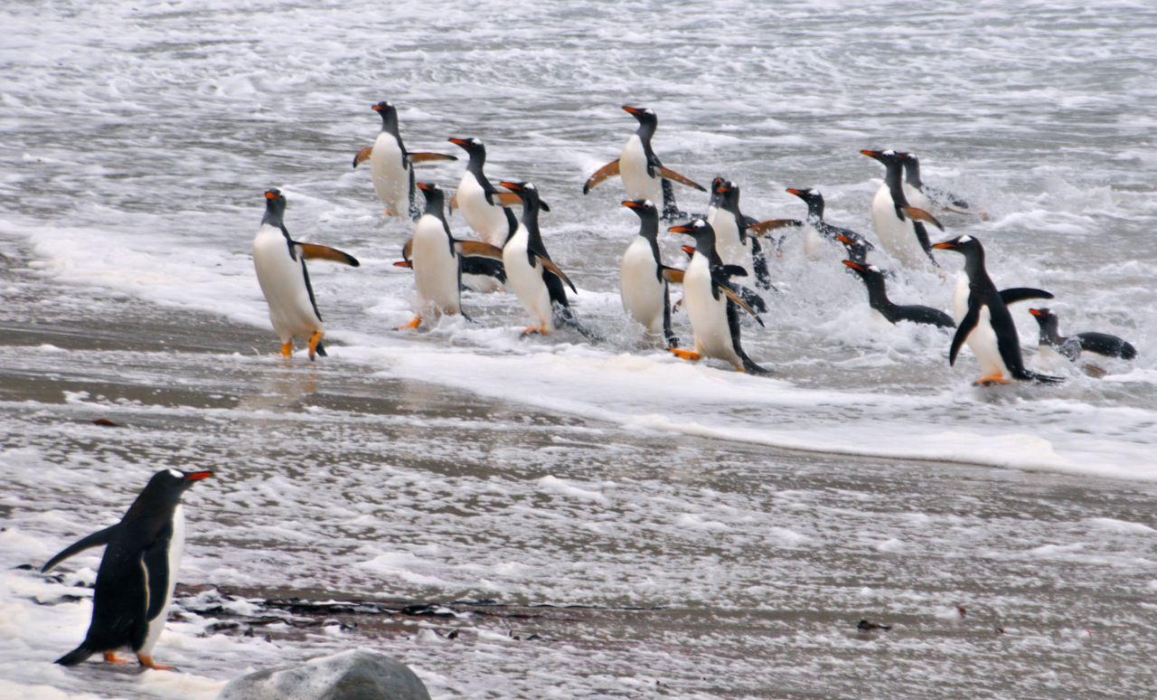 Pinguine auf den Falkland-Inseln