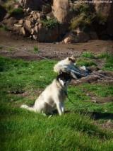 Schlittenhund (4)