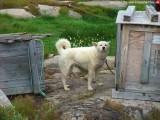Schlittenhunde (2)
