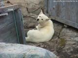 Schlittenhunde (3)