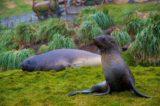 Grytviken 2013 - MS Delphin 31