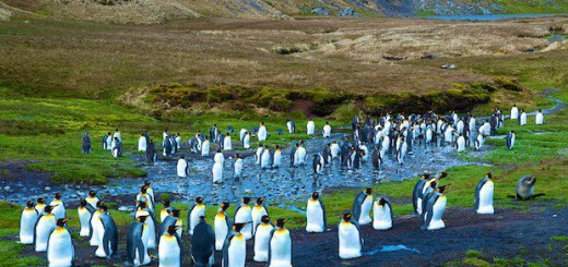 Pinguin Kolonie beim Mausern in Jason Harbour (South Georgia)