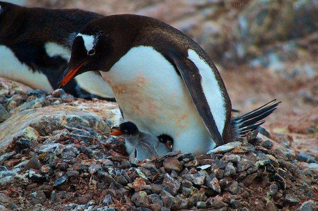 Pinguin mit Baby-Pinguin