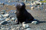 Ein kleiner Seehund in Stromness