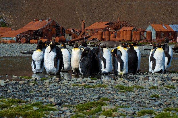 Pinguin-Kolonie beim Mausern in Stromness vor einer verlassenen Walfangstation