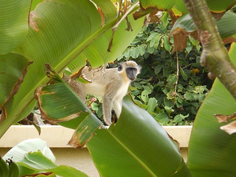Kleines Äffchen auf St. Kitts