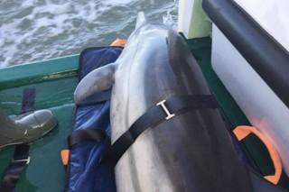 Der gerettete Delfin liegt in der Plicht des Tochterbootes LOTTE des Seenotrettungskreuzers ERNST MEIDER-HEDDE der DGzRS. / © DGzRS