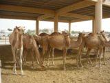 AIDAdiva Reisebericht - Bahrain 2.Woche