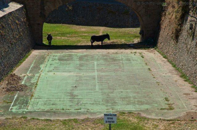 Militär-Esel auf Korsika