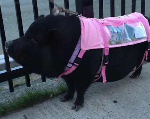 Schwein in St. John's