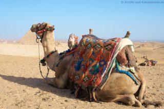 kamel-pyramiden-von-gizeh