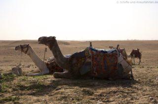 kamele-pyramiden-von-gizeh-1