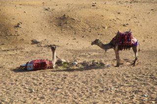 kamele-pyramiden-von-gizeh