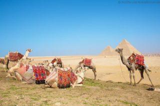 kamele-vor-den-gizeh-pyramiden